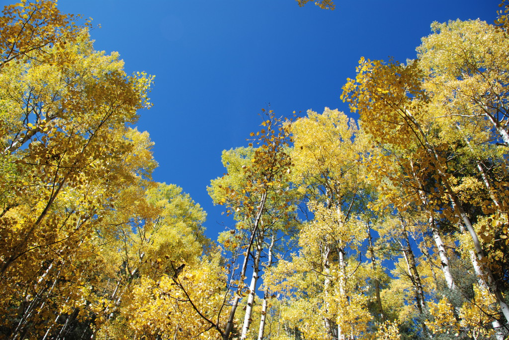 Autumn Aspens New Mexico