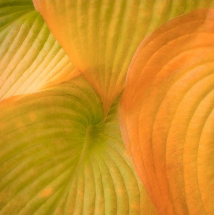 Autumn Hosta Leaves