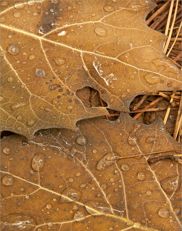 Oak leaves after rain